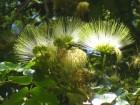 Albizia lebbeck (15 semenki)