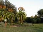 Aloe thraskii / 5 semenki