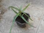 Aloe vera sadnica