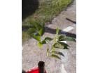Asimina triloba, Paw Paw banana sadnica