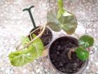 Begonia hydroctylifolia biljka-SLONOVO  UVO!