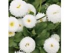 Bela rada (bela boja) 100 semenki