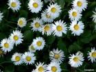 Bela rada (obična bela) 800 semenki