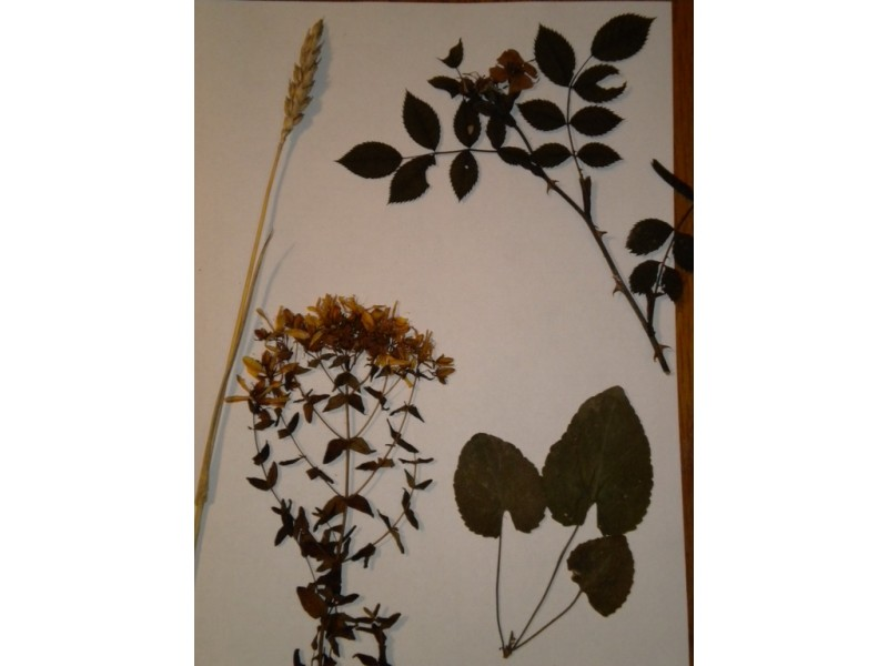 Biljke za herbarijum.