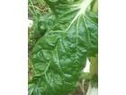 Blitva-domace organsko seme-20 semenki