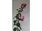 Bogumila – Bugenvilija Odrasla biljka visine 1,5m