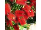 Callistemon rigidus (Četka za flaše) 50 semenki
