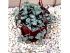 Ceropegia `Brojanica` biljka