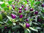 Chili paprika Filius blue-veoma ljuta (10 semenki)