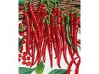 Chilli Cayenne long slim-izuzetno ljut (10 semenki)