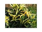 Chilli Elephant-sa aromom limuna (10 semenki)