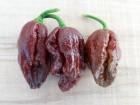 Chocolate Scorpion - Chili pepper 20 semenki