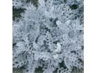 Cineraria maritima (250 semenki)
