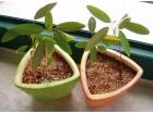 Codariocalyx motorius-biljka koja pleše (5 semenki)