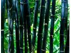 Crni džinovski bambus-izdržava do -25°C! (10 semenki)