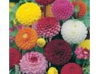 Dahlia raznobojna (30 semenki)