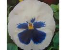 Dan i noć bela sa svetloplavom sredinom(200 seme)