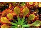 Drosera capillaris (100 SEMENKI) biljka mesožderka
