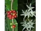 Drvo kafe (4 semenki)