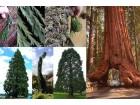 Džinovska Sekvoja-Sequoiadendron giganteum (5 semena)