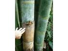 Džinovski bambus-Phyllostachys pubescens (10 semenki)