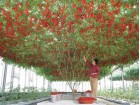 Džinovsko drvo paradajz (10 semena)