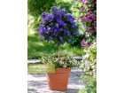 ENCIAN DRVO (Solanum rannonetii) BILJKA