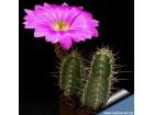 Echinocereus mix / 25 semenki