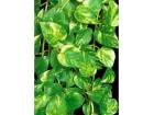 Epipremnum pinnatum `aureum` (Zlatna puzavica)