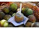 Eulychnia acida (5 semenki) jestivi kaktus