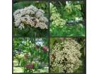 Evodija 10 sadnice (u saksiji)