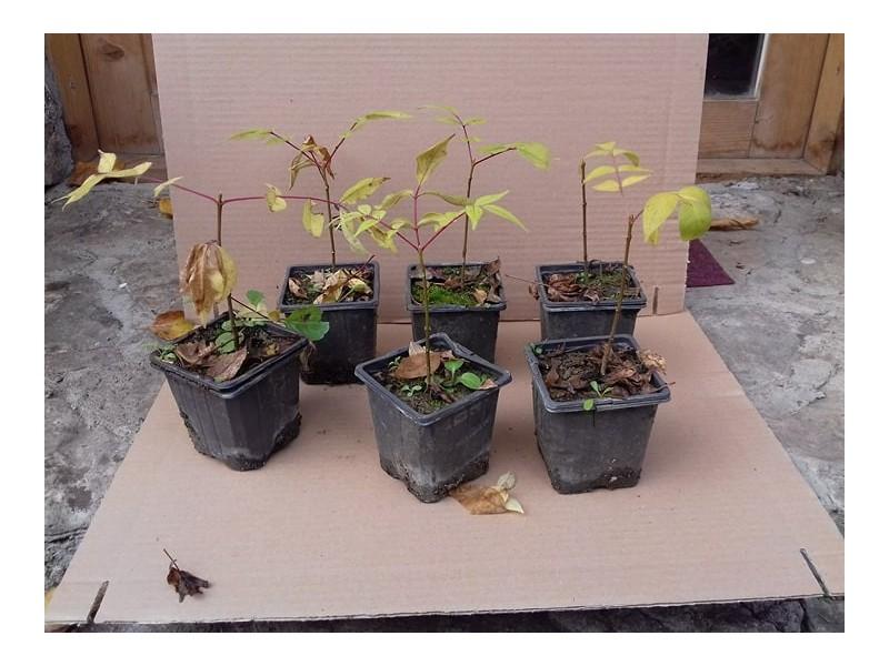Evodija 5 sadnice (u saksiji)