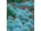 Festuca glauca (plava trava) 50 semenki