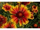 GAILLARDIA GRANDIFLORA- KOKARDA visoka-100 semena