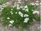 Hajdučka trava, 0,1g (preko 1000 semenki)