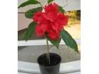 Hibiscus rosa sinensis double (Japanska ruža)