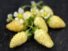 Jagode stalnorađajuće bele `White Soul`, 100 semenki