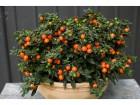 Jerusalemska Tresnja (Solanum pseudocapsicum)