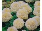 Kadifa (Tagetes erecta) krem boja 40 semenki