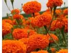 Kadifa (Tagetes erecta) narandžasta- 250 semenki