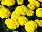 Kadifa (Tagetes erecta) žuta- 200 semenki