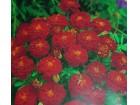 Kadifa niska crvena (150 semenki)