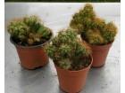 Kaktus - Cereus peruvianus Monstrose