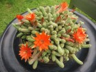 Kaktus - Chamaecereus silvestrii