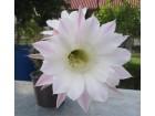 Kaktus - Echinopsis oxygona