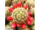 Kaktus - Mammillaria Prolifera ssp. Texana (yellow)