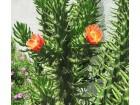 Kaktus - Opuntia cilindrica (Austrocylindropuntia sub.)