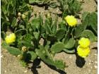 Kaktus - Opuntia compressa var. humifusa