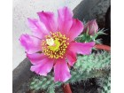 Kaktus - Opuntia imbricata (Cylindropuntia imbricata)