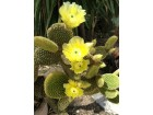 Kaktus - Opuntia microdasys